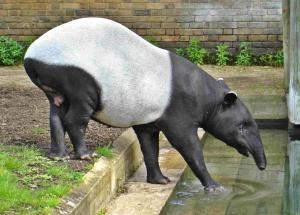 Malayan Tapir