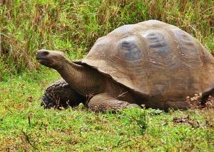 Galápagos tortoise wallpapers