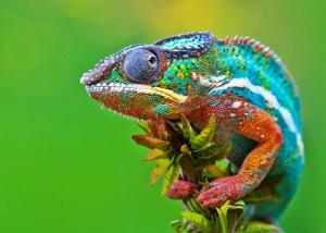 Chameleons wallpapers