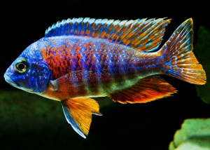 Cichlid wallpapers