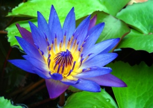 water lily wallpapers