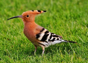 Hoopoe wallpapers