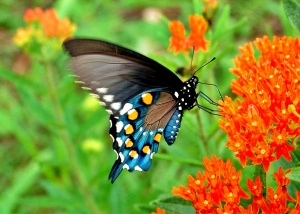 Swallowtail butterfly wallpapers