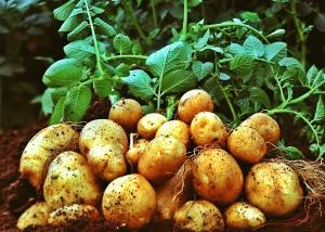 Potato wallpapers