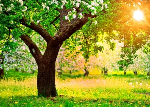 Apple trees wallpapers