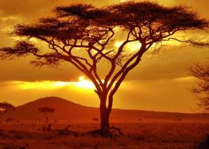 acacia trees wallpapers