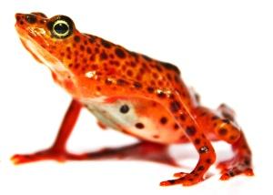 Carrikeri harlequin frog