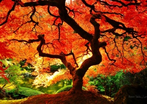 Japanese Maple Acer