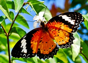 Red Lacewing wallpapers