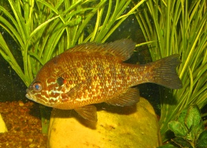 pumpkinseed sunfish wallpapers