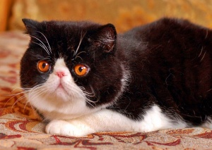 Exotic shorthair cats wallpapers