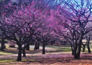 plum tree wallpapers