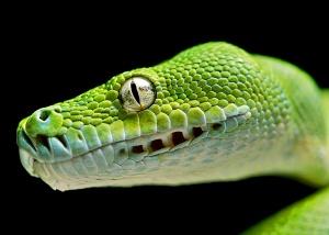 Green tree python wallpapers