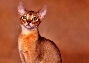 Abyssinian cats wallpapers