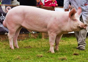 Awesome Wallpapers American Yorkshire Pig