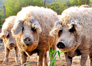 Mangalitsa pig wallpapers
